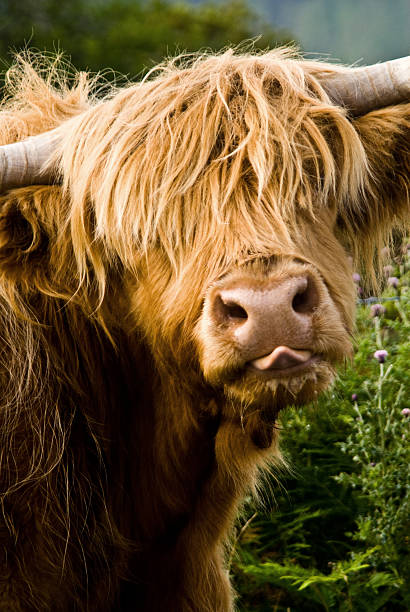 Highland Cow Calf stock photo