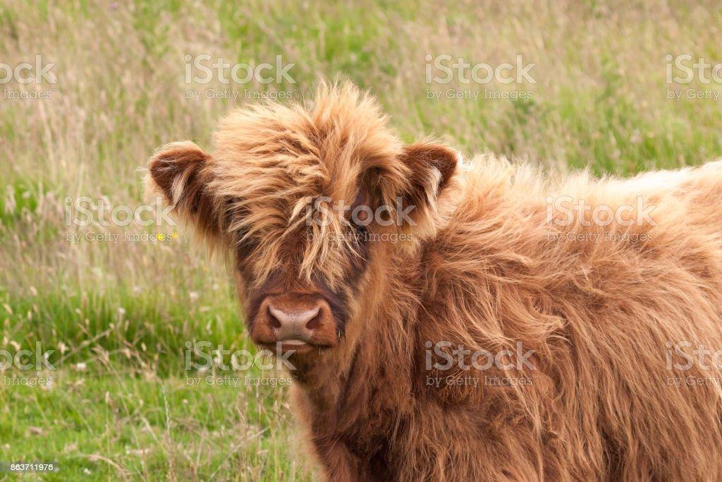 highland cow calf stock photo