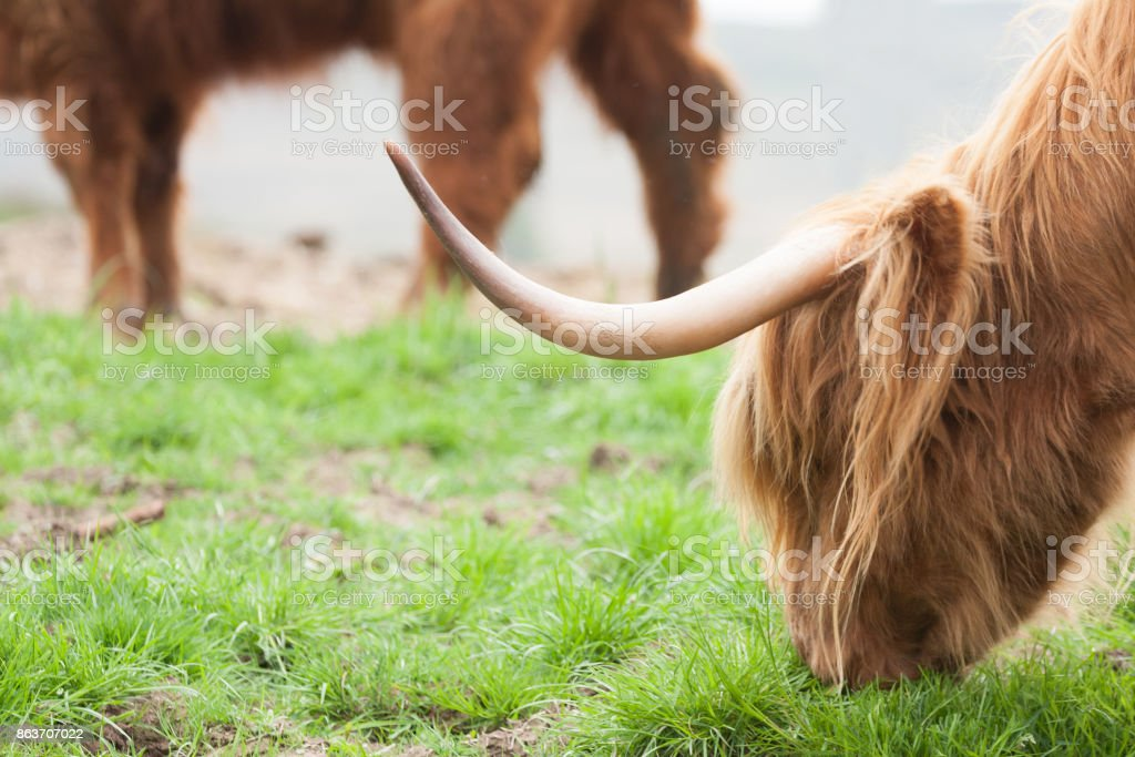 highland cow eating grass stock photo