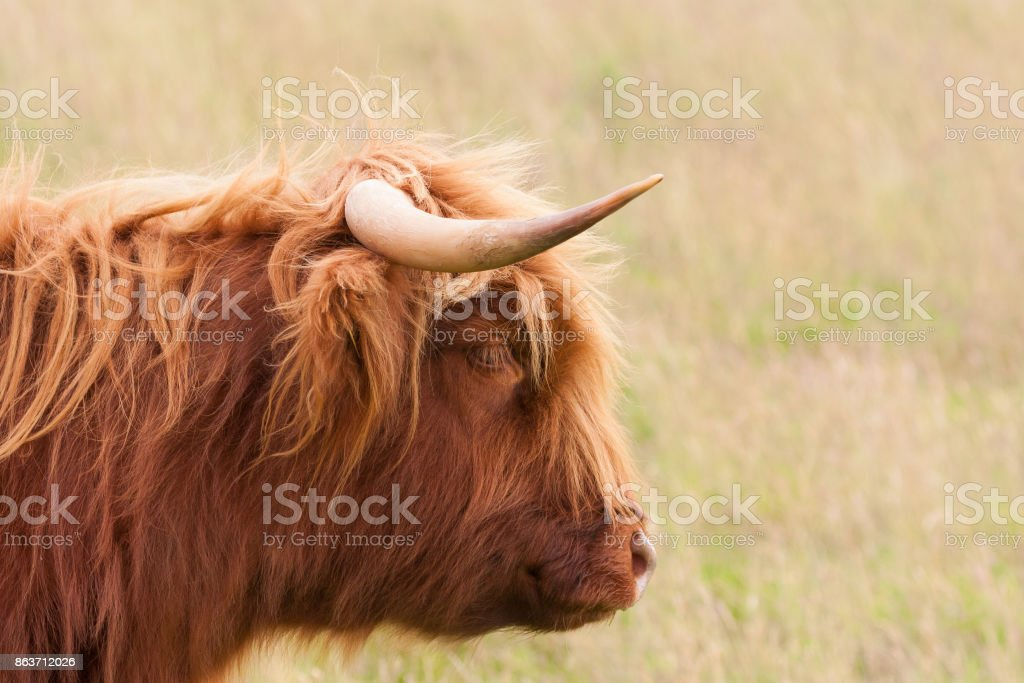 highland cow head and horns profile stock photo