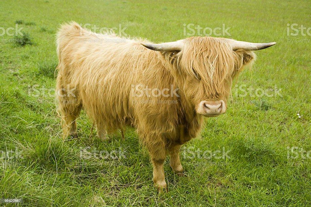 Highland Kuh im Feld Lizenzfreies stock-foto