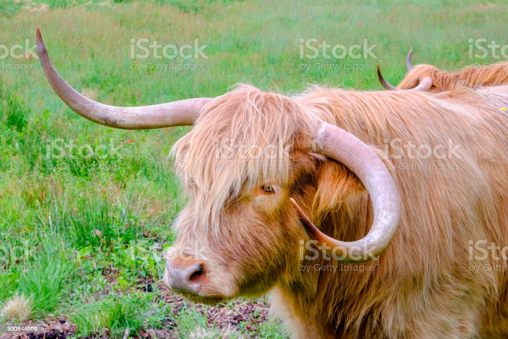 Highland cow in a field. Scotland stock photo