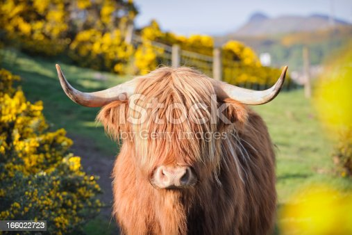 istock Highland Cow in Flowering Gorse 166022723