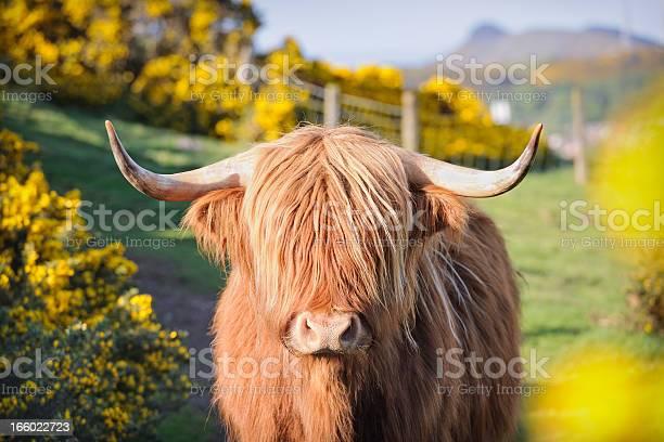 Highland cow in flowering gorse picture id166022723?b=1&k=6&m=166022723&s=612x612&h=57pw8maqyfsfzew7rhf1ehe3hgnnxlvx8e41sypggvc=