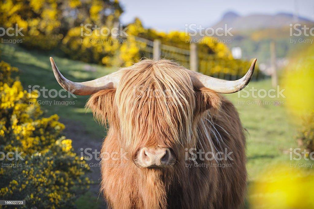 Vache des Highlands fleurs de Genêt - Photo