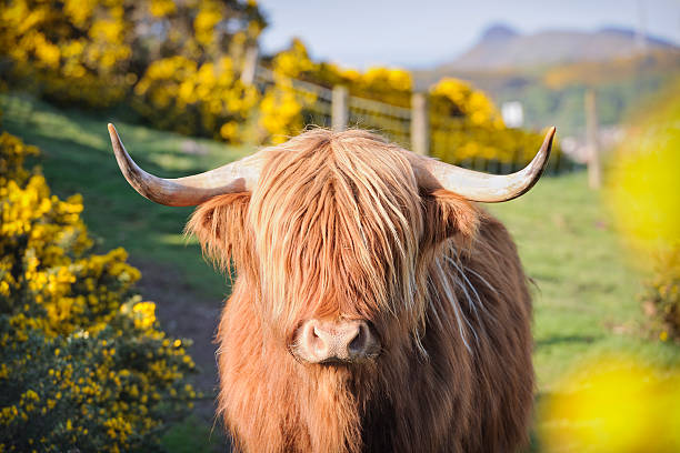 Highland Cow in Flowering Gorse stock photo