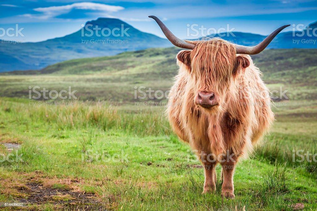 Highland cow in Isle of Skye, Scotland - Photo