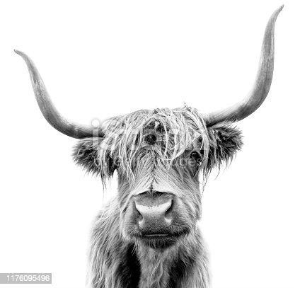 Scottish Highland Cattle on white background.
