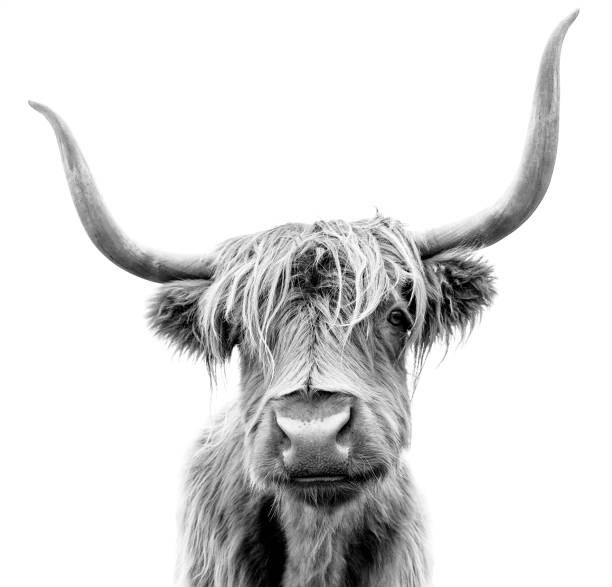 A Highland cow in Scotland. Scottish Highland Cattle on white background. black and white stock pictures, royalty-free photos & images