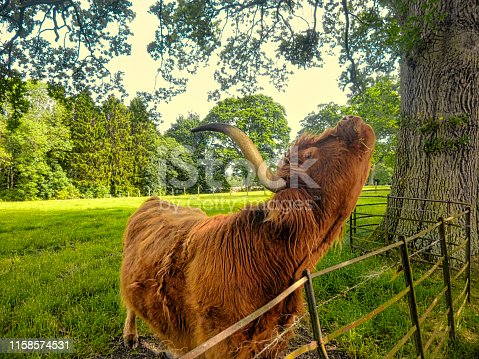Scottish highland cow with distinctive thick shaggy coat and horns scratching on a fencepost