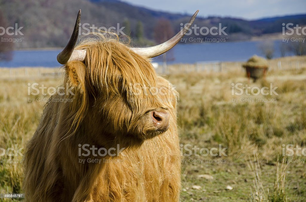 Highland Cow in Scottish Highlands stock photo