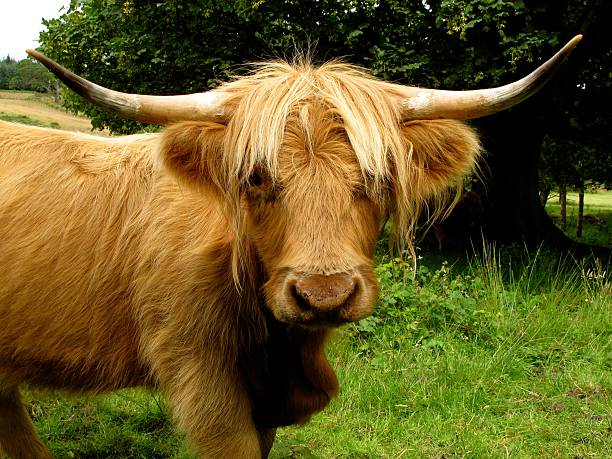 Highland cow looking at camera through parted fringe stock photo