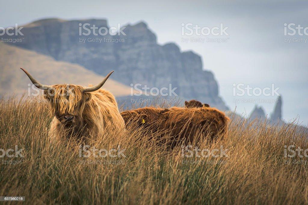 Highland cow, Old Man of Storr, Isle of Skye, Scotland. stock photo