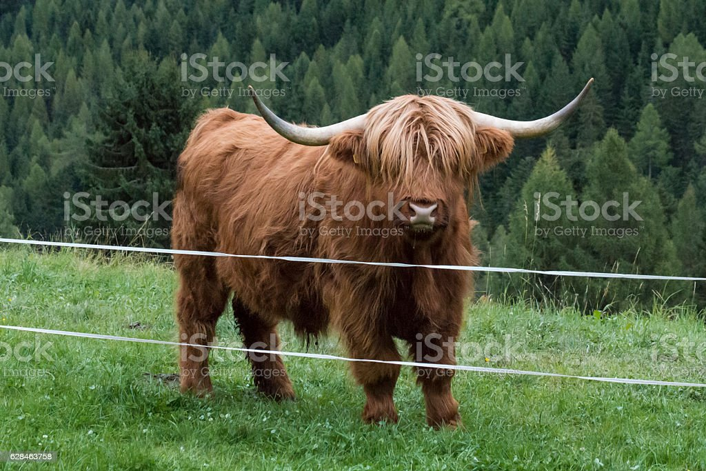 Highland cow on a meadow - Photo