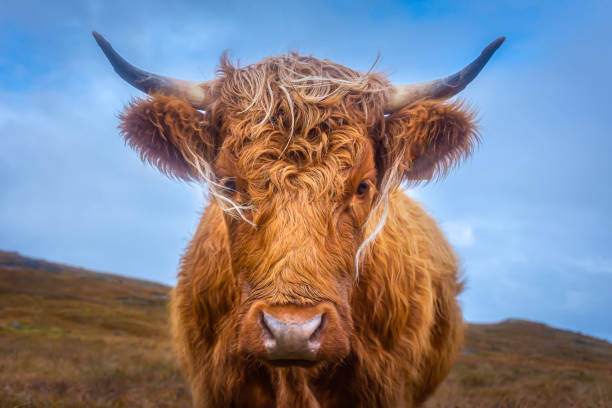 Highland cow on pasture. stock photo
