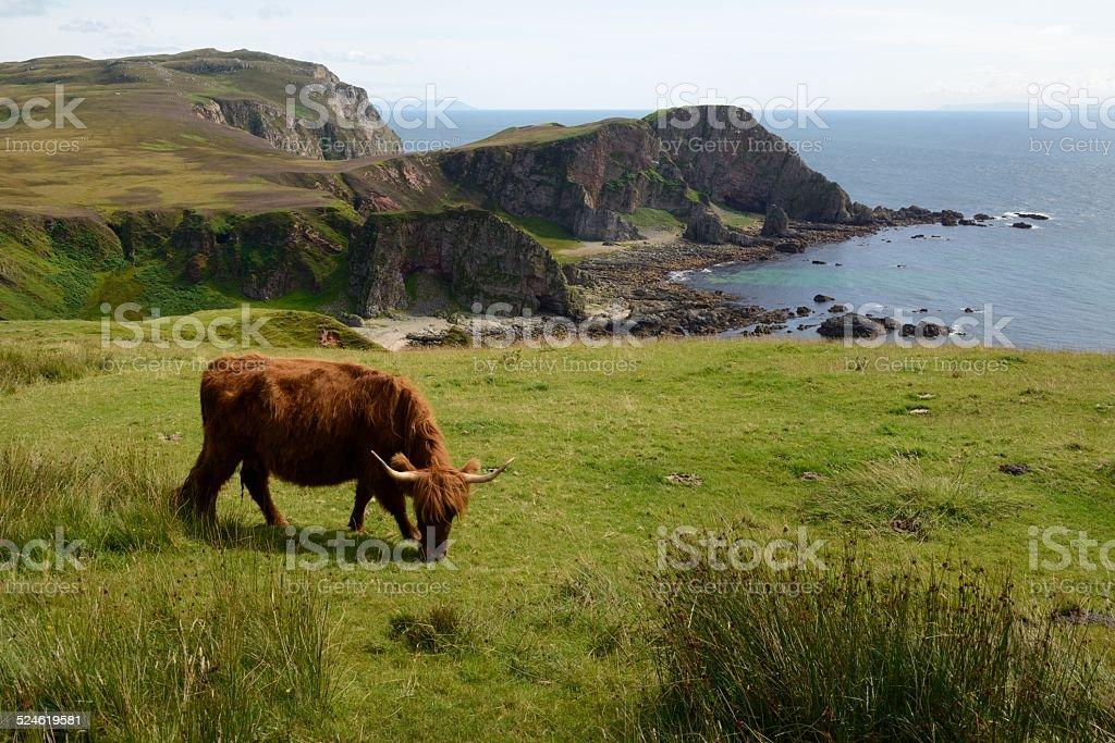 Vache des Highlands du Mull of Oa - Photo