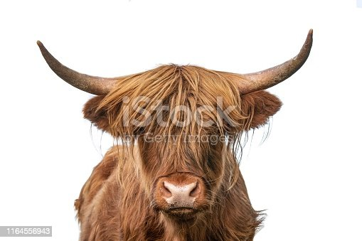 Highland cow closeup headshot on white background staring at camera