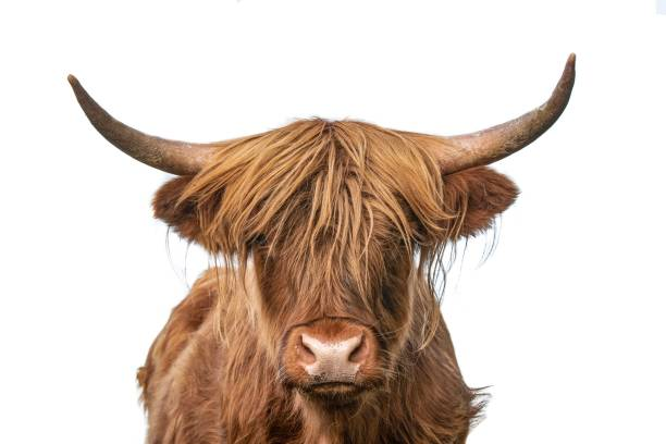 Highland cow on white background headshot Highland cow closeup headshot on white background staring at camera protruding stock pictures, royalty-free photos & images