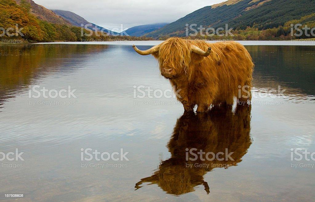 Highland Cow. stock photo