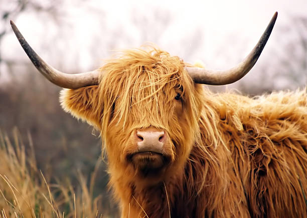 Highland Cow This is a shot I took when in Scotland of an Highland Cow.  I just love these guys... scottish highlands stock pictures, royalty-free photos & images