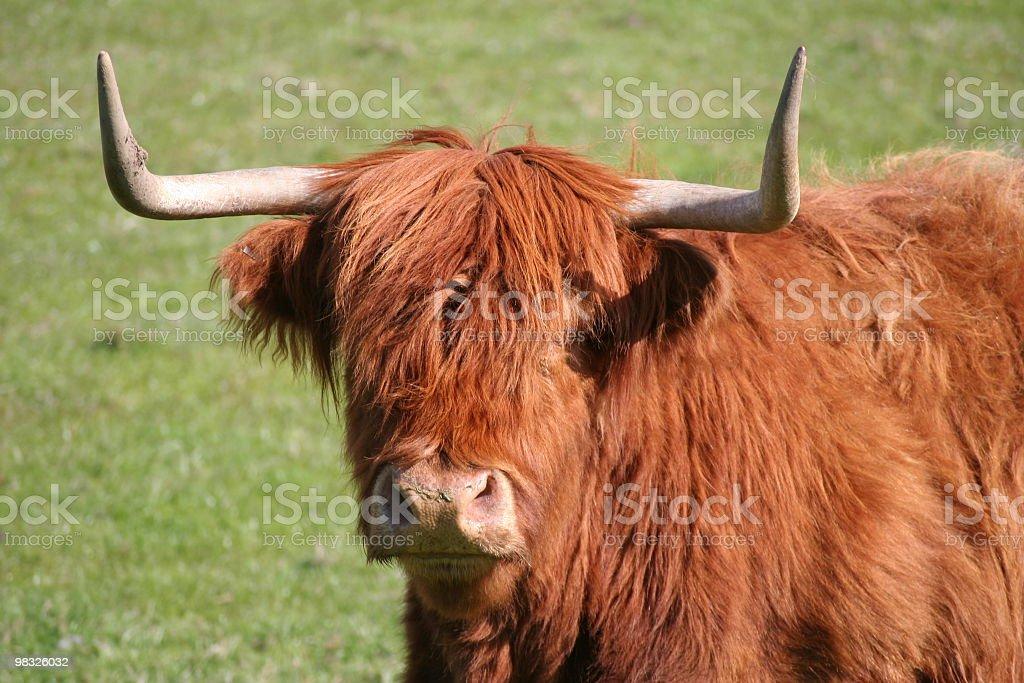 하일랜드 Cow royalty-free 스톡 사진
