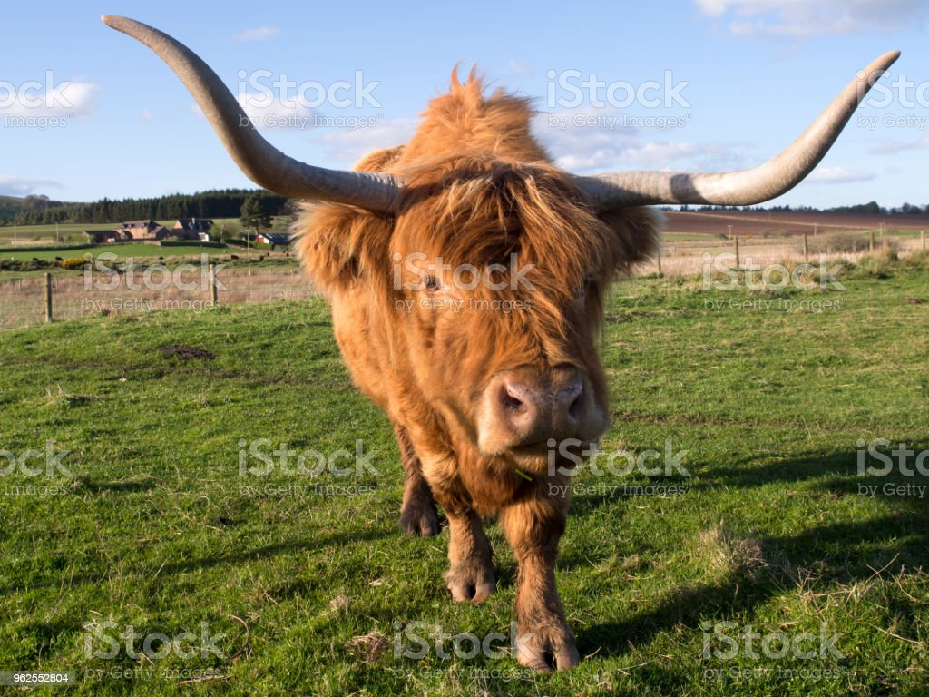 Highland vaca, Escócia - Foto de stock de Agricultura royalty-free