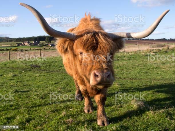 Foto de Highland Vaca Escócia e mais fotos de stock de Agricultura