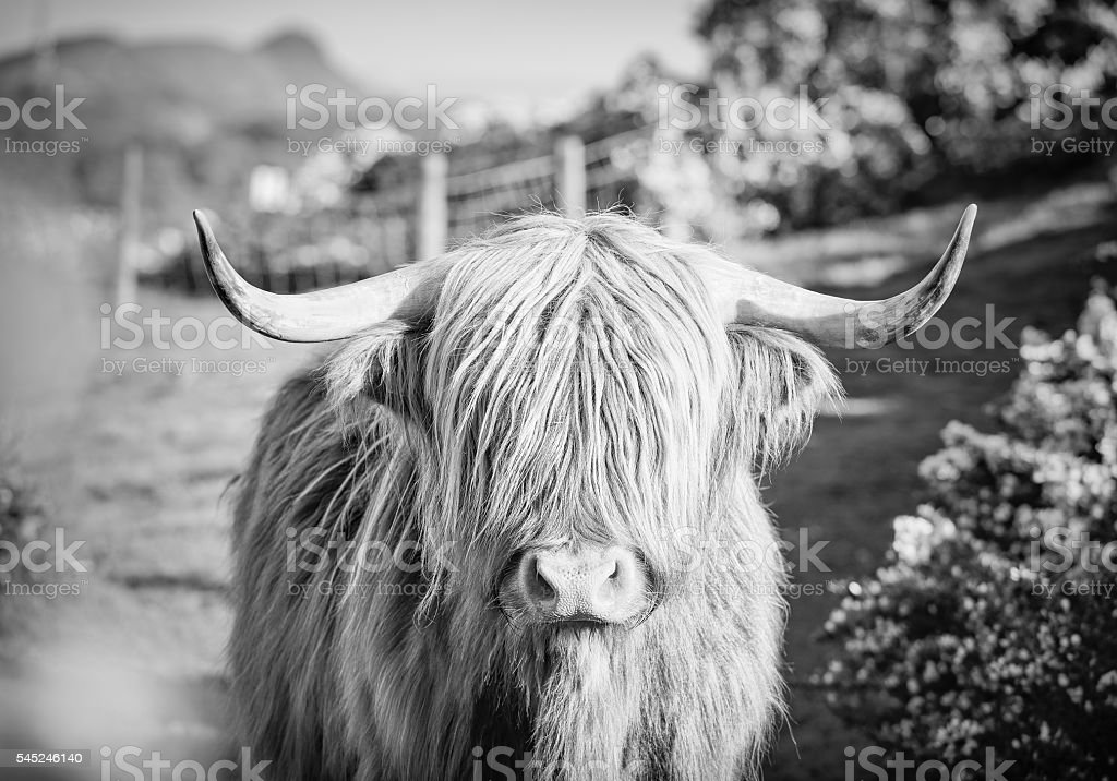 Highland Cow spring gorse in Scotland stock photo