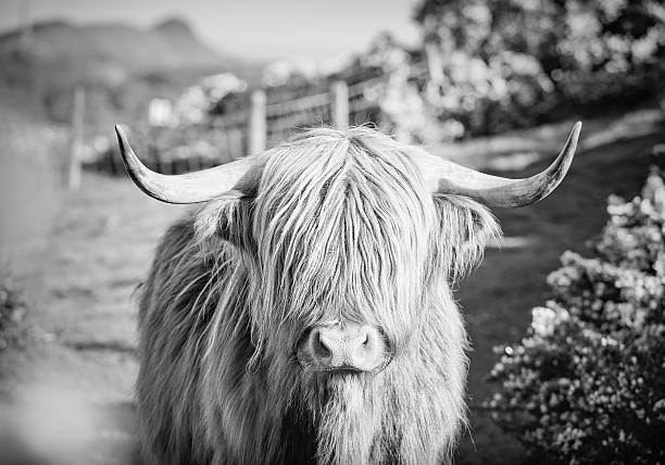Highland Cow spring gorse in Scotland stock photo