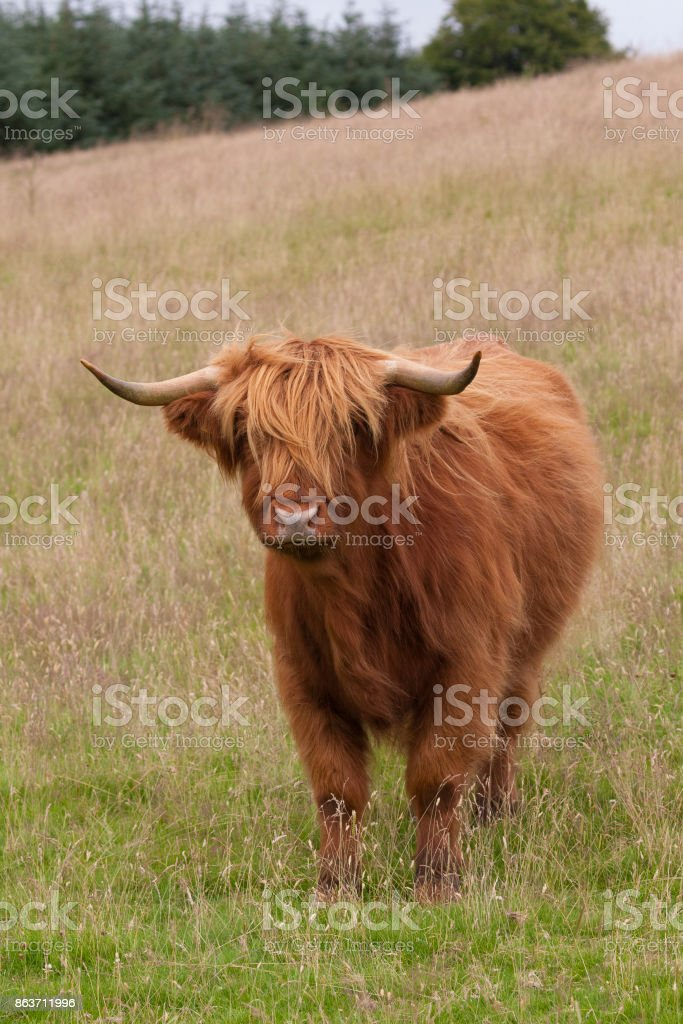 highland cow standing on a hill stock photo