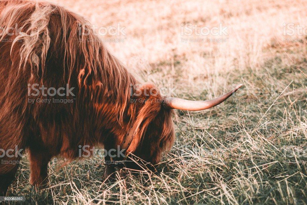 Vache Highland avec cheveux long bruns. - Photo