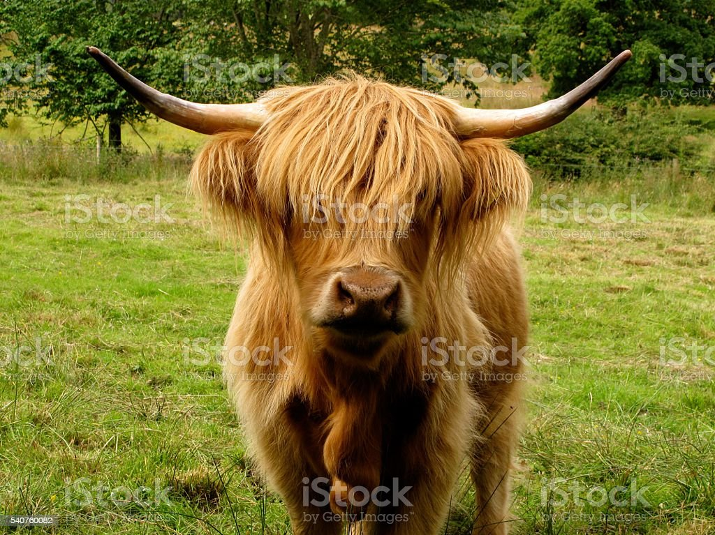 Highland cow with hair in his eyes stock photo