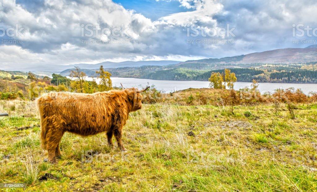 Vache Highland avec vue panoramique - Photo