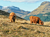 Scottish highland cow with distinctive thick shaggy coat and horns in the mountains of Argyll