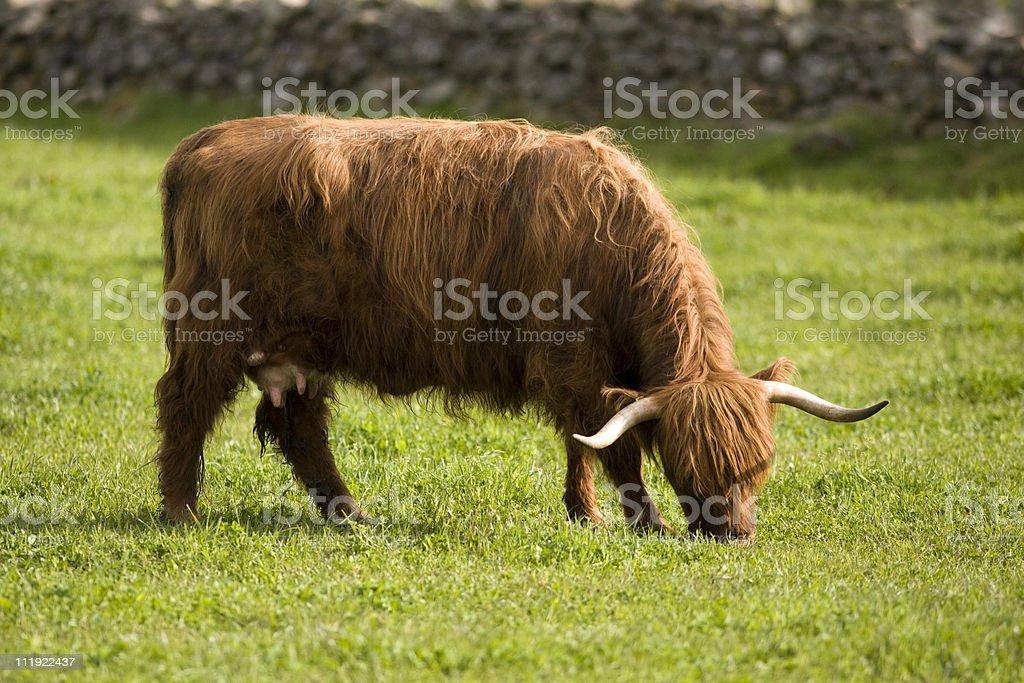 Highland cows stock photo