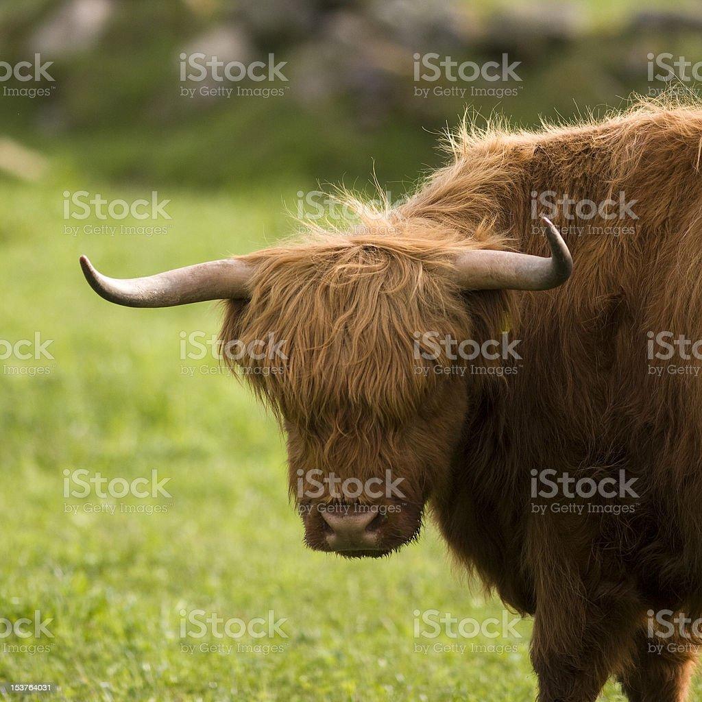 La Vache des Highlands - Photo