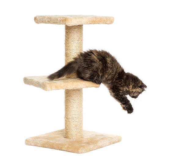 Highland fold kitten jumping from a cat tree isolated picture id456544577?b=1&k=6&m=456544577&s=612x612&w=0&h=2ndmzmebwnlrew abwuwuebqwlympsd 16jycxhaj5m=