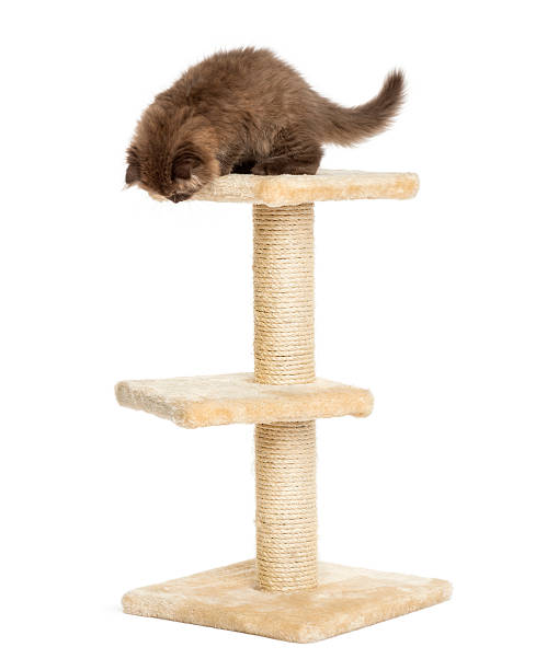 Highland fold kitten on top of a cat tree isolated picture id456066389?b=1&k=6&m=456066389&s=612x612&w=0&h=uanfi ke29yk3csdvk2nta5j1 qezmpjk2qhinox0mw=