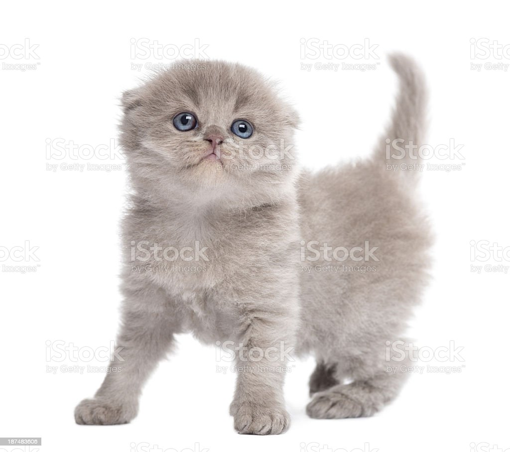 Highland fold kitten standing, looking up, isolated on white stock photo