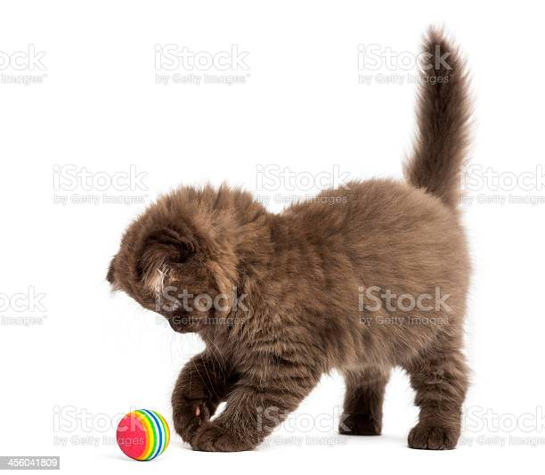 Highland fold kitten standing playing with a ball isolated picture id456041809?b=1&k=6&m=456041809&s=612x612&h=kwv ta4besvangxalpmwsg5unix3hbbtvmyhh zpwv0=