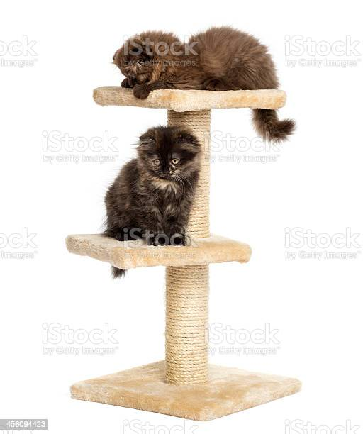 Highland fold kittens playing on a cat tree isolated picture id456094423?b=1&k=6&m=456094423&s=612x612&h=nmrxmsqgv5ov3uscpwkykm2nxbudq6x46k12fq06ark=