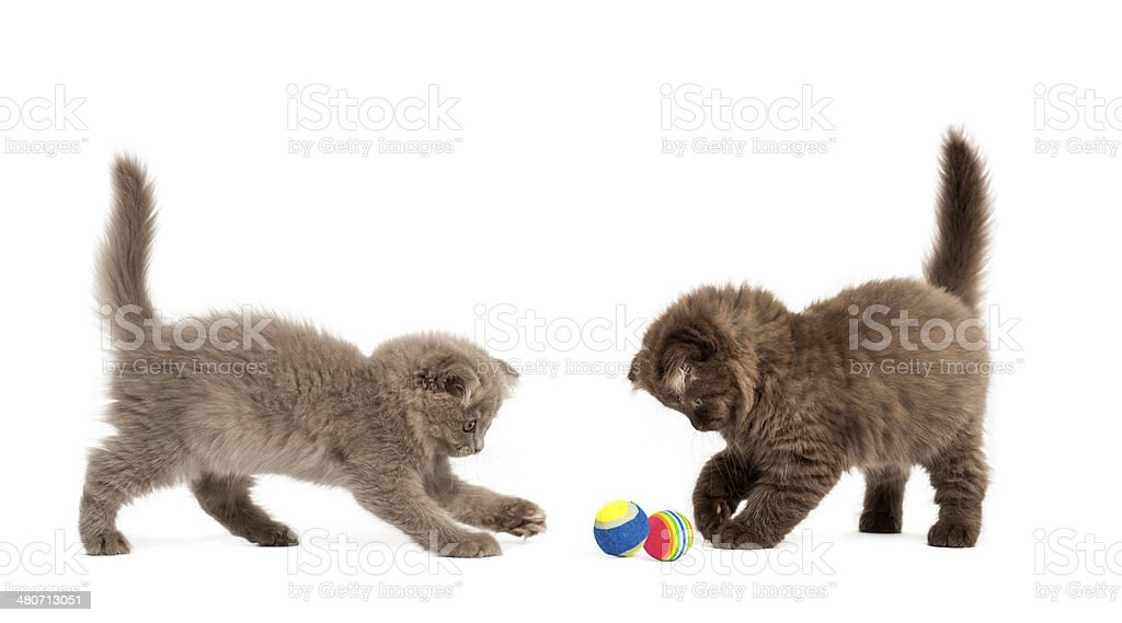 Highland fold kittens playing together with balls stock photo