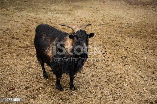 highland goat adorable photogenic smiling animal photography looking at camera