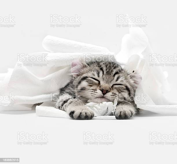 Highland lynx kitten picture id183882515?b=1&k=6&m=183882515&s=612x612&h=jgwsiuasy1ou zmvublpggbgnend syfa1fblolrb6w=