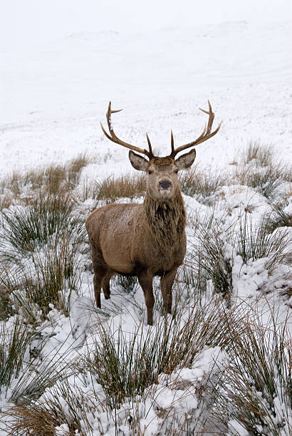 Highland Red Stag – Foto