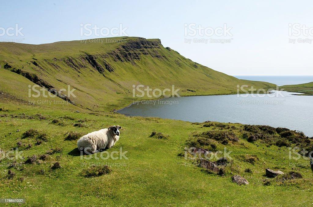 Highland-Schaf – Foto