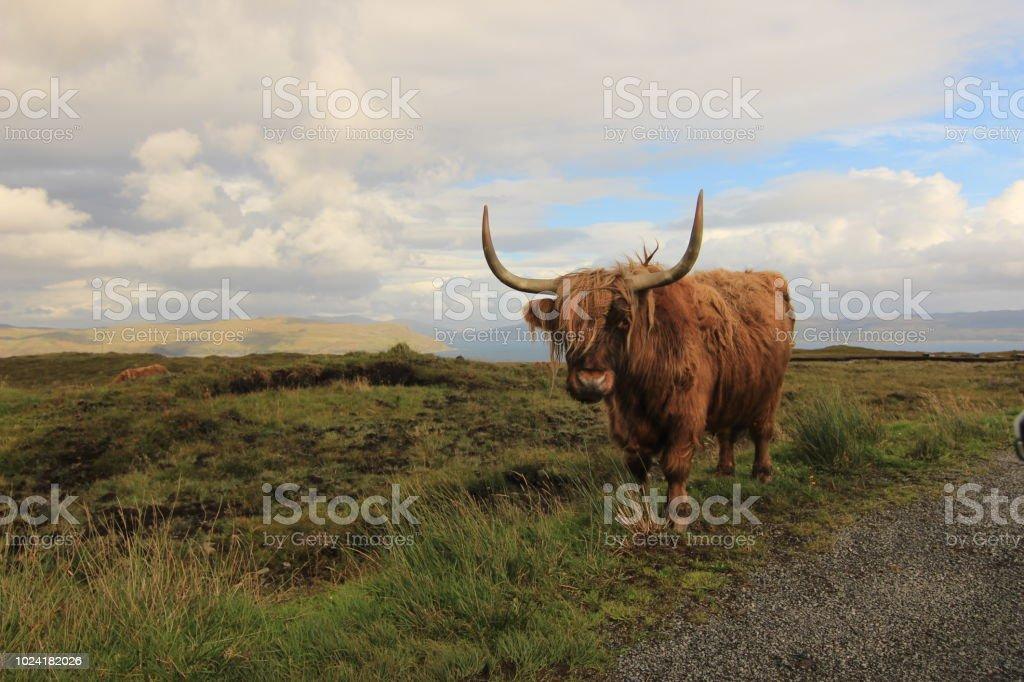 Vache Highlander - Photo