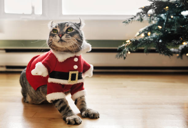 Highlander lynx wearing a Santa Costume Highlander lynx wearing a Santa Costume, Quebec, Canada pet clothing stock pictures, royalty-free photos & images