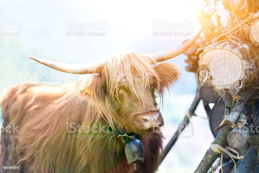 Highlander Scottish cow grazing in summer stock photo