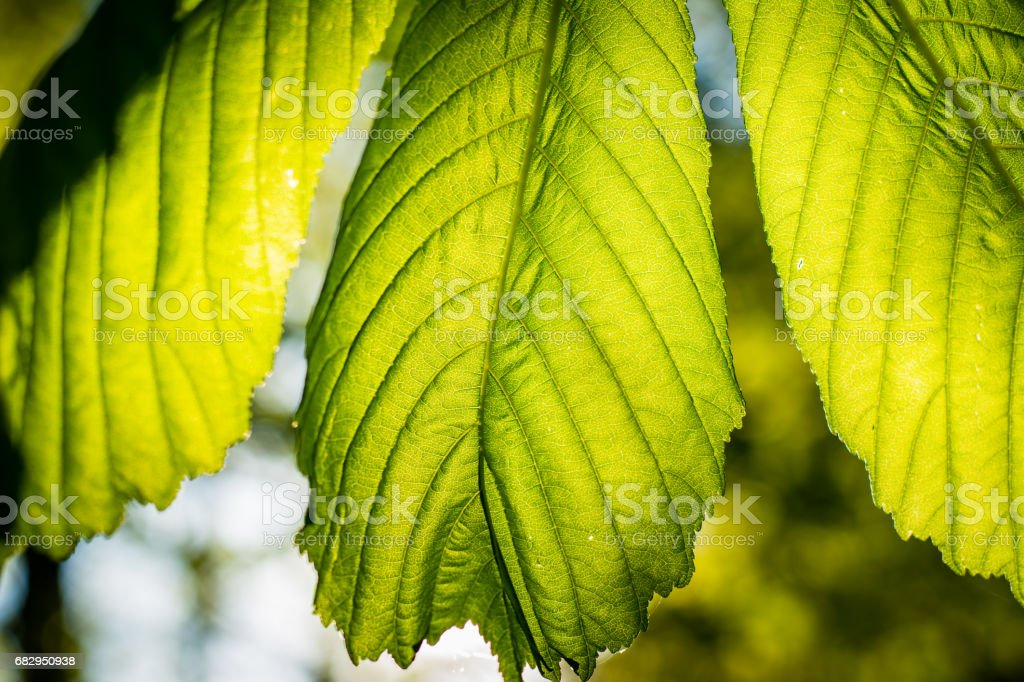 Highlighted chestnut leaves. royalty-free stock photo
